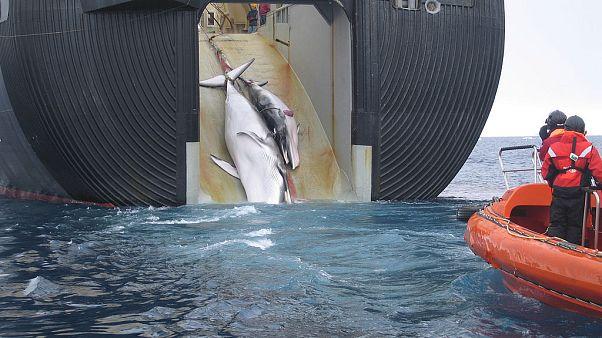 Japonlar dışında hangi uluslar balina avlamaya devam ediyor?