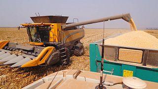 نگاهی به توسعه کشت ذرت؛ طلای اقتصاد آنگولا