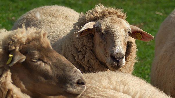 180 Schafe stürzen im Karwendelgebirge in den Tod