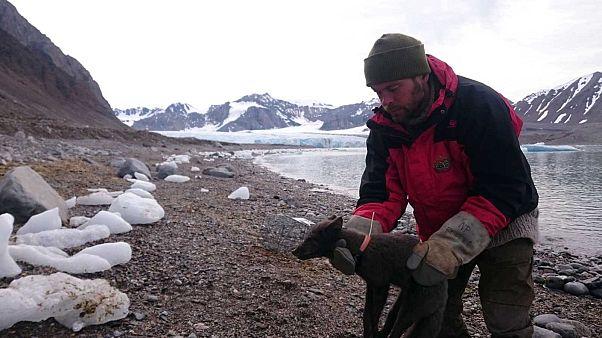 Un scientifique de l'Institut polaire norvégien posant un émetteur à la renarde polaire en Norvège le 29 juillet 2017