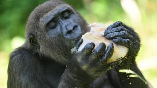 Watch: First ever French-born gorillas released into natural habitat