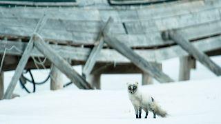 روباه قطبی با پیمودن ۳۵۰۰ کیلومتر در ۷۶ روز دانشمندان را شگفتزده کرد