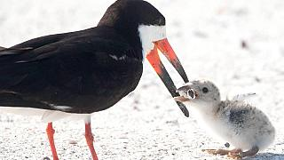 A black skimmer seabird feeding its young with a cigarette butt