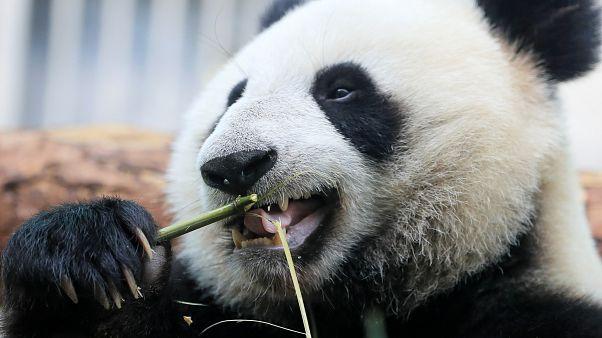 Panda eats bamboo in Moscow