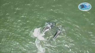 Rússia criticada por libertação de baleias