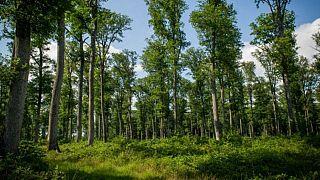 Rapor: 1 trilyondan fazla ağaç dikmek küresel ısınmayı durdurabilir
