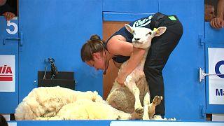 Cuatro días para esquilar a 5000 ovejas