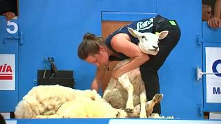 France : la tonte du mouton a son Championnat du monde