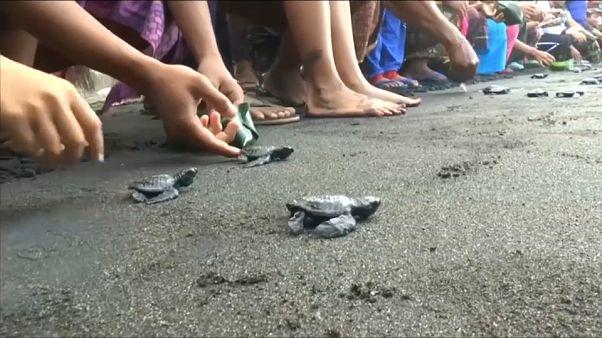 شاهد: قرويون في إندونيسيا يطلقون عشرات من صغار السلاحف البحرية في مياه المحيط