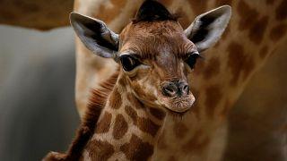 شاهد: وافد جديد في عائلة الزرافات بحديقة حيوانات باريس