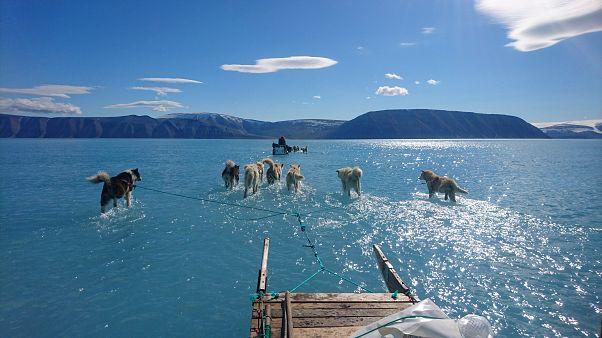 Klimawandel: Schlittenhunde im Schmelzwasser in der Arktis