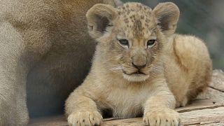شاهد: حديقة حيوانات تشيكية تعرض شبلين لسلالة أسود نادرة