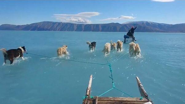 Video | Grönland'da buzul erimesi: Kızak köpekleri bu kez su içinde