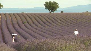 Provence: Fotofrevel im Lavendelfeld
