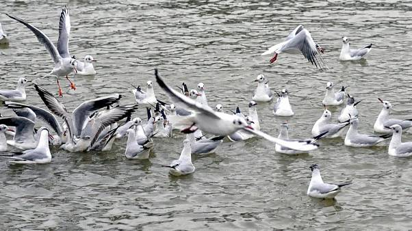 Drug-resistant superbugs found in Australian seagulls — study