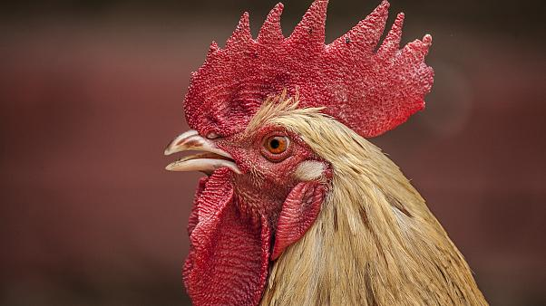 Ruling the roost: Swiss judge imposes crowing schedule on rooster