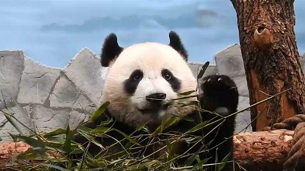 Панды в прямом эфире