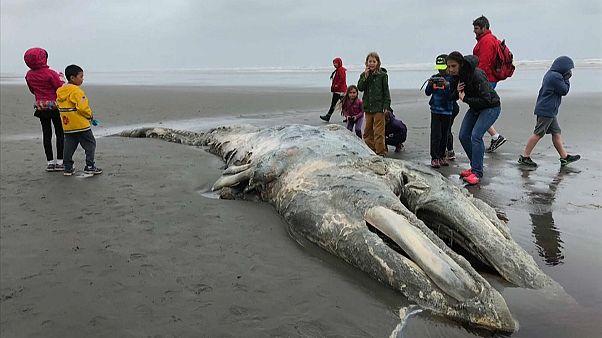 جثة حوت على أحد شواطئ واشنطن