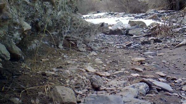 El leopardo de las nieves, amenazado de extinción, avistado en China