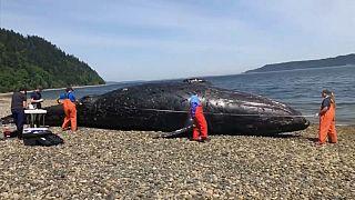 Procuram-se cemitérios de baleias nos Estados Unidos