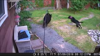 Cão afugenta com bravura um urso negro