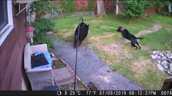 ویدئو؛ فرار خرس گرسنه از دست سگ خانگی
