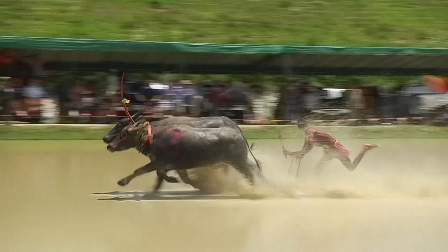 Thai farmers celebrate sowing with buffalo race