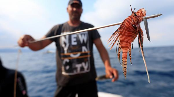 Warming waters see a concerning increase in lionfish off Lebanon's sea