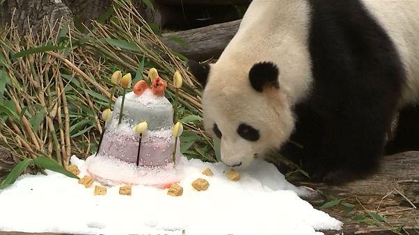 Panda Jiao Qing eats birthday cake at Berlin zoo