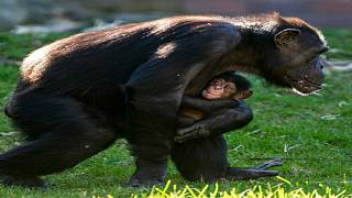 """مولود جديد ينضم إلى حديقة """"تارونغا"""" في سيدني باليوم العالمي للشمبانزي"""