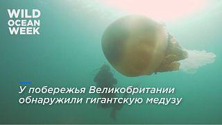 В Великобритании обнаружили медузу размером с человека