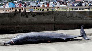 Avlanma yasağının kalkmasıyla Japonya'da balina sezonu açıldı; sahil kentleri geleneklerine dönüyor