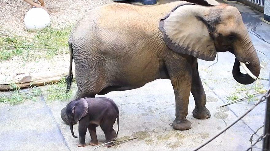 ویدئو؛ تولد بچه فیل حاصل از لقاح مصنوعی در باغ وحش وین