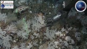 Молодые кораллы в «зоне надежды»