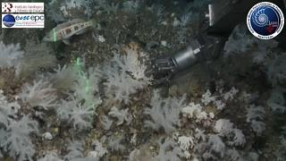 Jardim de corais moles nos Açores