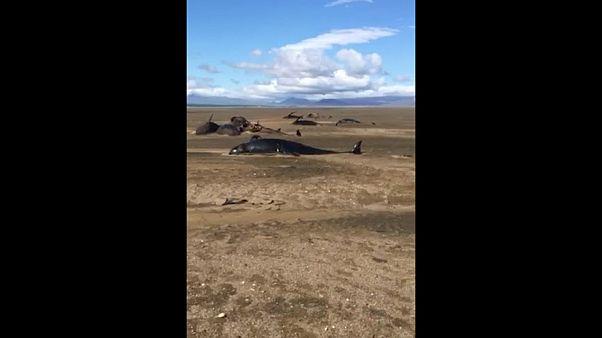 Около 50 китов погибли в Исландии