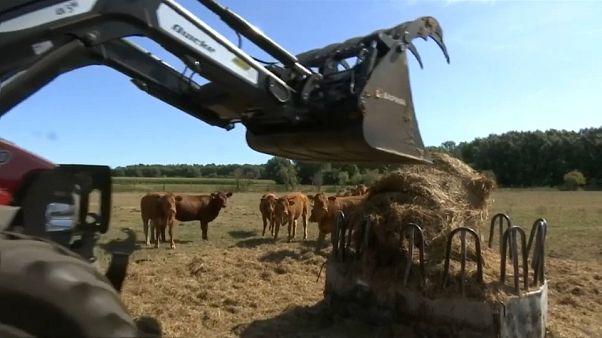 Frankreichs Landwirte erhalten staatliche Unterstützung zur Tierfuttergewinnung, damit sie ihr Vieh nicht notschlachten müssen.