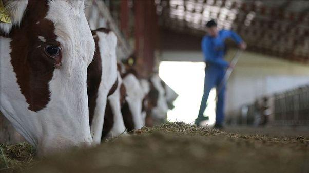 Meclis gündemine taşınmıştı, Tarım Bakanı: İspanya'dan gelen 3 bin hayvanın sertifikası sahte