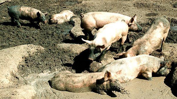 Βουλγαρία: Σε έξαρση η αφρικανική πανώλη των χοίρων