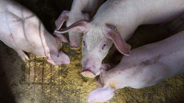 Bulgaristan'da domuz vebası salgını, toplamda yarım milyon hayvan itlaf edilebilir