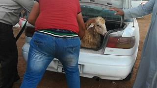 A Romanian sheep being stuffed into a car boot to be slaughtered at a private home during the 2018 Eid festival in Jordan