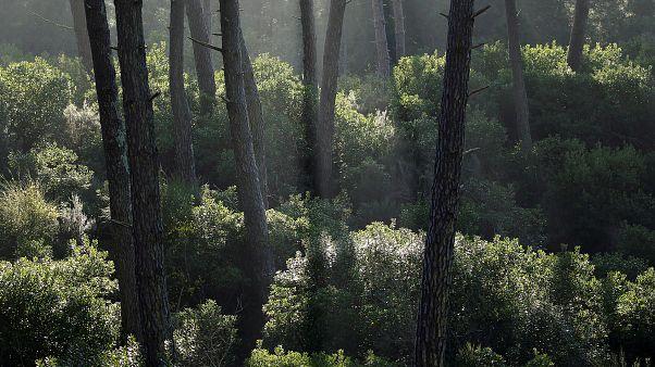 Elevenen felzabálják a klímaváltozás miatt legyengült német erdőket a kártevők