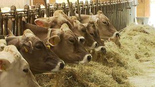 Klímaváltozás: kevesebbet tejelnek a stájer tehenek