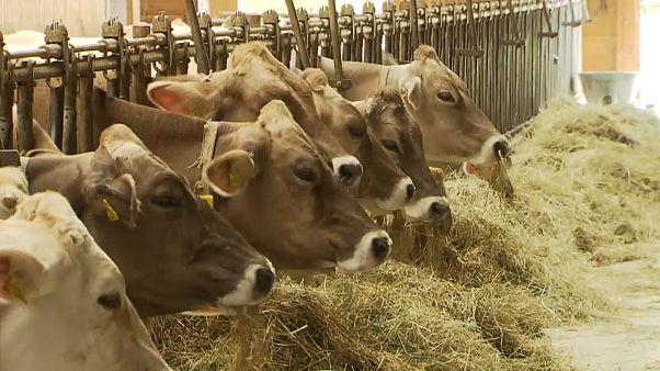 In den Kuhställen in der Steiermark wird bereits Winterfutter ausgegeben.