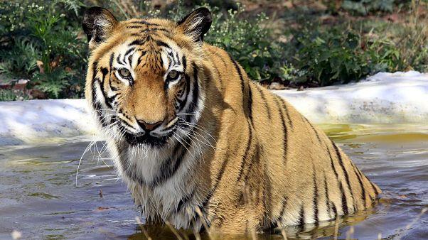 Kétszeresére nőtt a tigrisek száma Indiában másfél évtized alatt