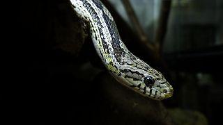 Kendisini sokarak zehirleyen yılanı, ısırarak parçaladı: Yılan öldü, adam hastanelik