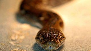 Мужчину укусила змея, тот растерзал ее в клочья