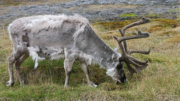Hundreds of reindeer starved to death on Arctic island 'due to climate change'