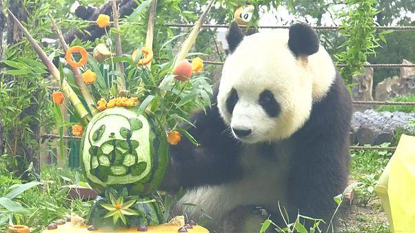 Un panda géant fête son anniversaire au zoo de la forêt de Dalian