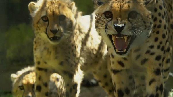 Geparde: Warum die Zucht so schwierig ist